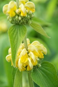 Immergrüne Bodendecker mit gelbe blumen