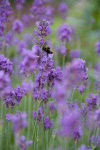 Mit Lavendel lebt Ihr Garten auf