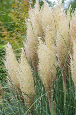 Trawa L'herbe de la pampa fait revivre votre jardin ożywi każdy ogród