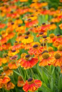 Beetpflanzen in feurigen Farben
