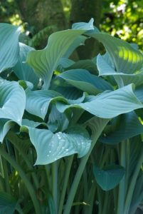 Blattpflanzen grünbleibend