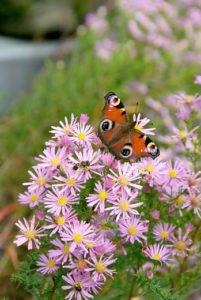 Verführen Sie Schmetterlinge mit Nektarpflanzen