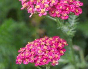 Achillea: unverzichtbar für jedes Beet